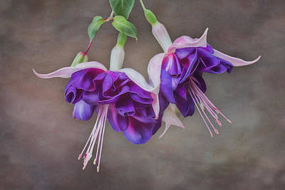 Purple Fuchsia Poster