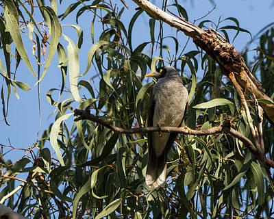 Noisy Miner Bird 2 - Canberra - Australia Poster