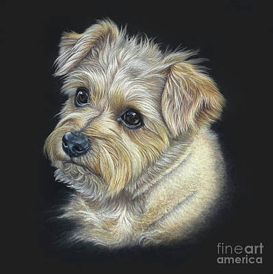 Poster featuring the drawing Norfolk Terrier 'hattie' by Donna Mulley