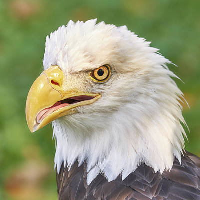 North American Bald Eagle  Poster