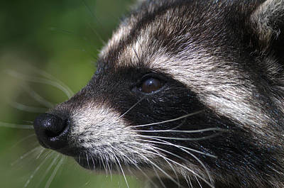 North American Raccoon Profile Poster by Sharon Talson