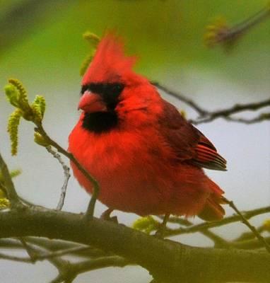North Carolina Cardinal Poster