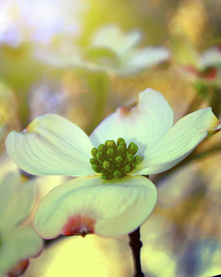 North Carolina Dogwood State Flower Poster by Gray  Artus
