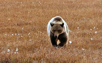 Poster featuring the photograph North Slope Grizzly by Adam Owen