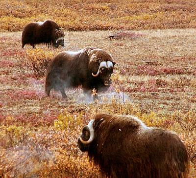 Poster featuring the photograph North Slope Musk Ox by Adam Owen