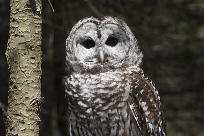 Northern Barred Owl Perched On Birch Poster