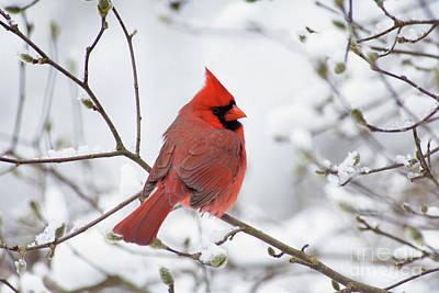 Northern Cardinal - D001540 Poster