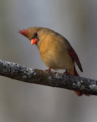 Northern Cardinal 4 Poster