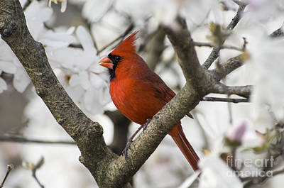 Northern Cardinal And Magnolia 2 - D009893 Poster by Daniel Dempster