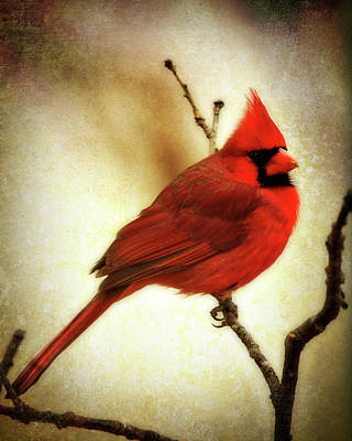 Northern Cardinal Poster by Lana Trussell