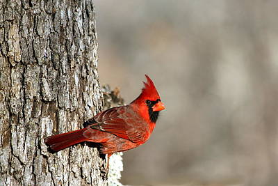 Northern Cardinal On Tree Poster