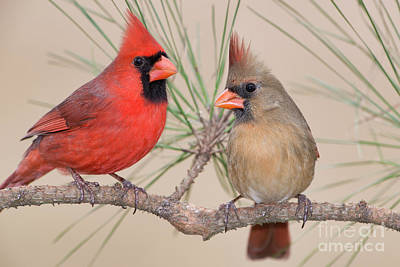 Northern Cardinal Pair In Pine Tree Poster