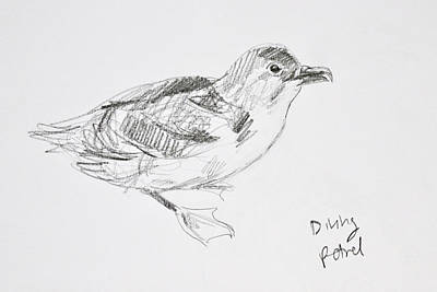 Northern Diving Petrel Poster