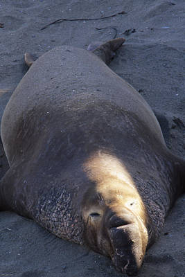 Northern Elephant Seal Poster by Soli Deo Gloria Wilderness And Wildlife Photography