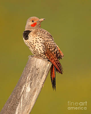 Northern Flicker Looking Back Poster