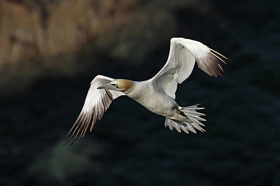 Poster featuring the photograph Northern Gannet In Flight by Grant Glendinning