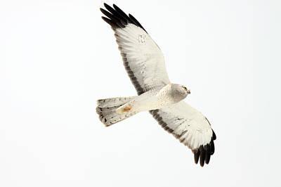 Northern Harrier Hawk, Yukon Poster