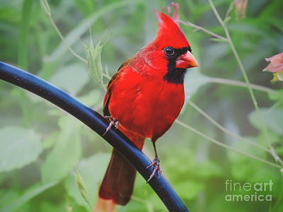 Northern Male Red Cardinal Bird Poster
