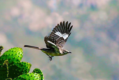 Northern Mockingbird Flying Poster