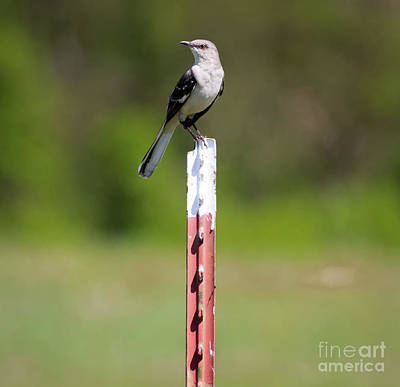 Poster featuring the photograph Northern Mockingbird Posing  by Ricky L Jones