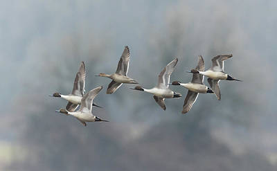 Poster featuring the photograph Northern Pintails In Flight by Angie Vogel