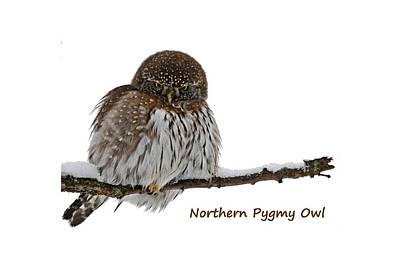 Northern Pygmy Owl 2 Poster
