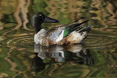 Poster featuring the photograph Northern Shoveler Drake by Bradford Martin