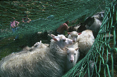 Norway, Sheeps In Net, Close-up Poster