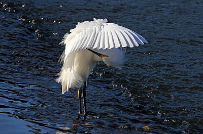 Poster featuring the photograph Not Under Here - Birds - Snowy Egret by HH Photography of Florida