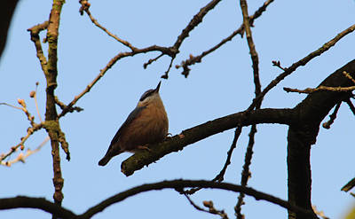 Nuthatch With Head High Poster by Adrian Wale