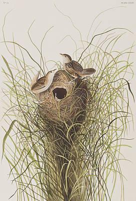 Nuttall's Lesser-marsh Wren  Poster by John James Audubon