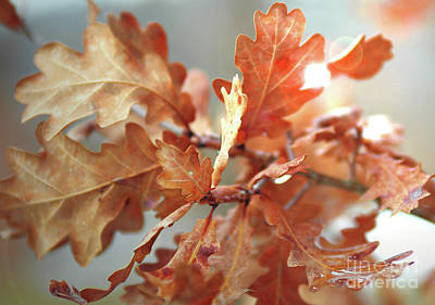 Oak Leaves In Autumn Poster