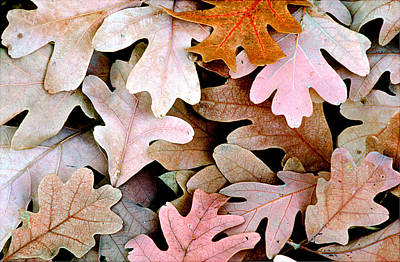 Oak Leaves Photo Poster