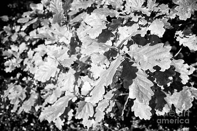 Oak Leaves Starting To Turn In Autumn Sunshine Poster