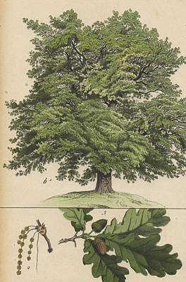 Oak Tree And Acorns Poster
