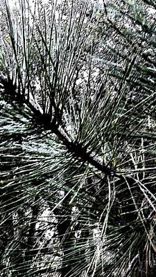 Oakhurst Pine Needles Poster