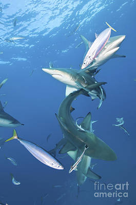 Oceanic Blacktip Sharks With Remora Poster