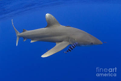 Oceanic Whitetip Shark Poster by Dave Fleetham - Printscapes