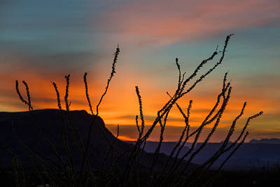 Ocotillo At Sunset Poster