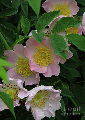Oh The Wild Rose Bush Poster by Deborah Johnson