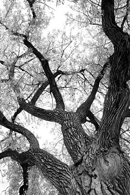Old Cottonwood Tree Poster