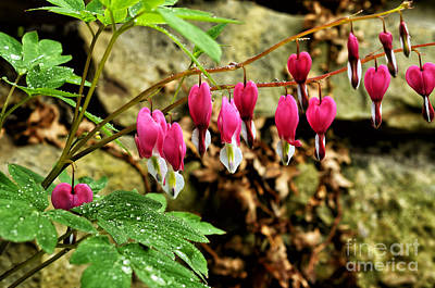 Old-fashioned Bleeding Heart Poster by Thomas R Fletcher