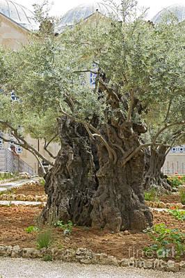 Old Olive Trees Gethsemane Jerusalem Poster by Ilan Rosen
