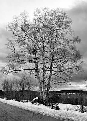 Old White Birch Poster