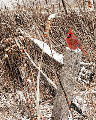 Old Winter Fence Post With Cardinal Poster by Timothy Flanigan