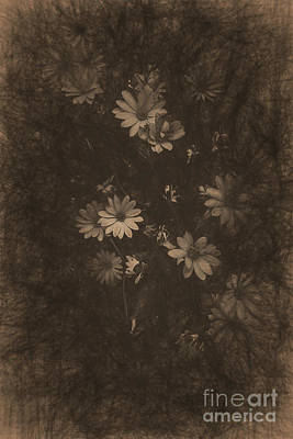 Olden Day Daisies  Poster by Jorgo Photography - Wall Art Gallery