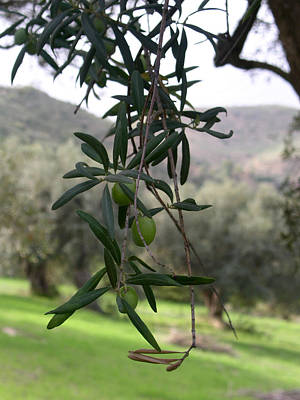 Olive Grove Sicily Poster