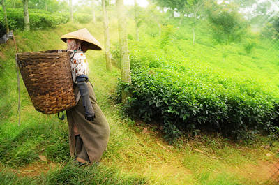 One Day In Tea Plantation  Poster by Charuhas Images