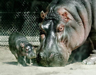 One Day Old Baby Hippo And Mom Poster