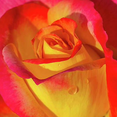 Poster featuring the photograph One Macro Rose by Julie Palencia